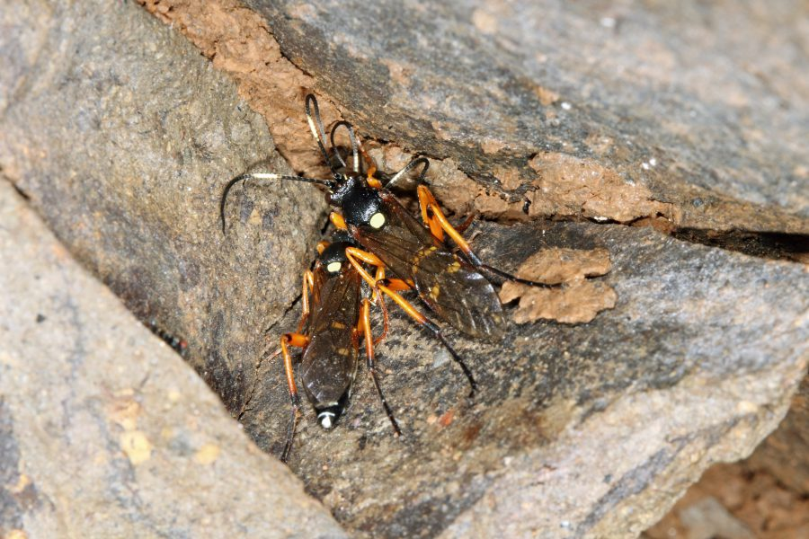 Vierfleck-Höhlenschlupfwespe - Höhlentier des Jahres 2017 - Weibchen der Vierfleck-Höhlenschlupfwespe